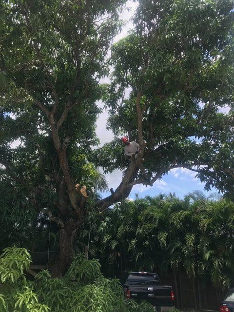 Tree-climbing Arborist